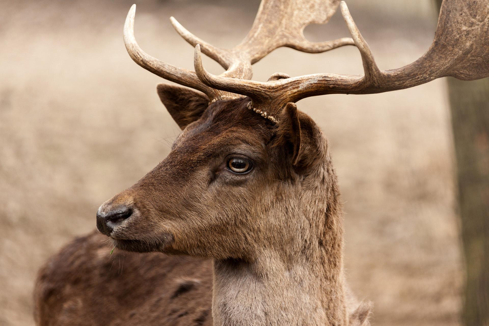 fallow-deer-portrait